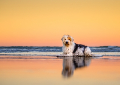01-Winners-Circle-Sessions-Beach-beared-collie-reflection