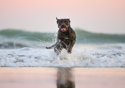 02-Winners-Circle-Sessions-Beach-labrador-spashing-in-waves