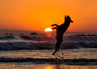 03-Winners-Circle-Sessions-Beach-boston-terrier-leaping-silhouette