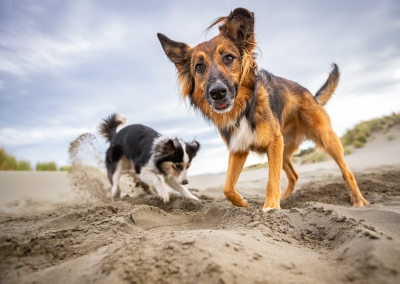 04-Winners-Circle-Sessions-Beach-digging-collies
