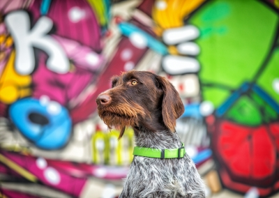 05-WInners-Circle-Sessions-urban-german-wirehaired-pointer-graffiti