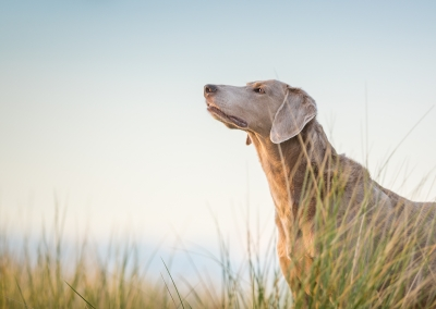 07-Winners-Circle-Sessions-Beach-weimaraner-in-sand-dunes